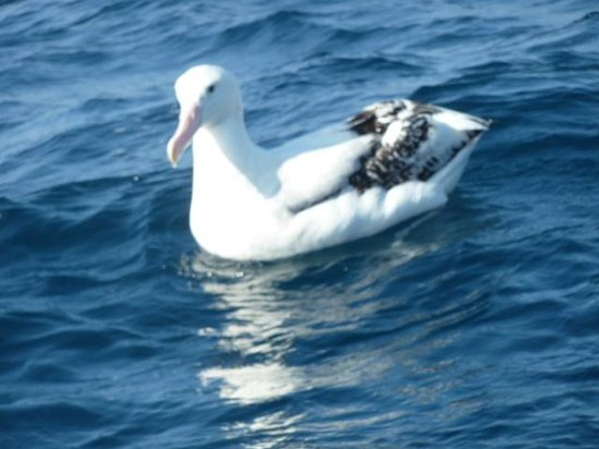 Albatross Encounter:                   One lovely Albatross