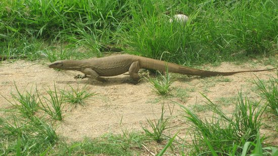 Victoria Golf & Country Resort:                                     Monitor Lizard in the hotel grounds