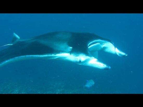 Summer Island Maldives:                   Manta