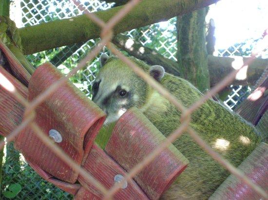 Dartmoor Zoological Park:                   Ring Tailed Coati