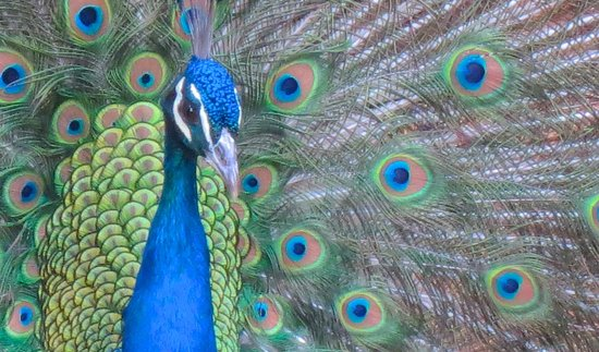Fiesta Americana Hacienda Galindo:                   Peacock