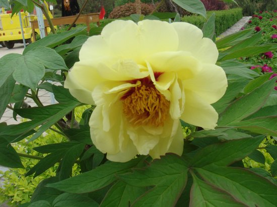 Luoyang International Peony Garden:                   珍貴的姚黃