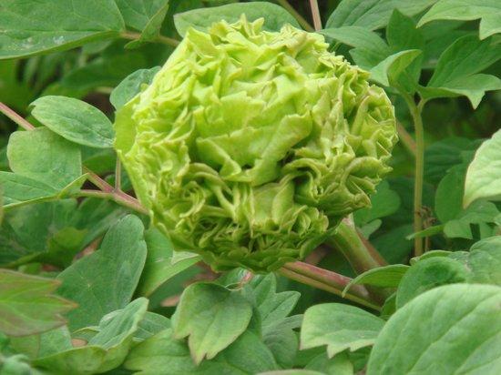 Luoyang International Peony Garden:                   珍貴的豆綠(綠牡丹)