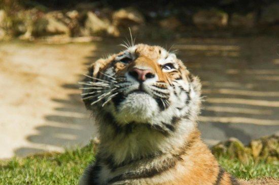 Cute tiger cub picture of howletts wild animal park canterbury howletts wild animal park cute tiger cub altavistaventures Images