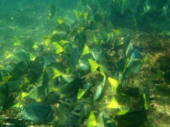 Las Brisas Huatulco:                   Yellowtail Surgeonfish (off snorkeling beach)