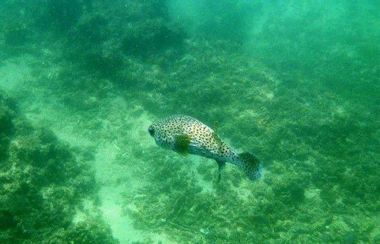 Las Brisas Huatulco:                   Spotted Porcupinefish (off snorkeling beach)