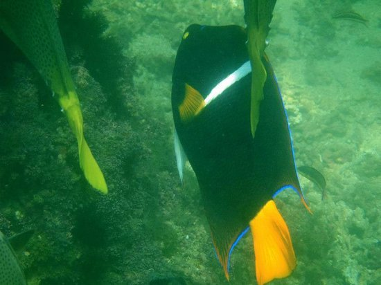 Las Brisas Huatulco:                   King Angelfish (off snorkeling beach)