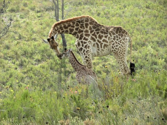 Botlierskop Private Game Reserve: Mother and 1 week old Giraffe