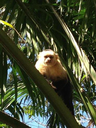 Paquera, Costa Rica:                                     White Faced Monkey