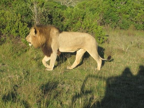Kariega Game Reserve - River Lodge:                   lion passing by, without minding the car