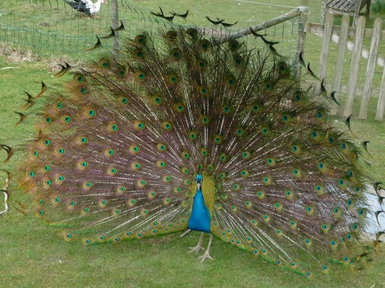 Knowle Farm:                                     Peanut the Peacock strutting his stuff