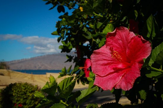 Kihei Bay Vista: Plumerias grow on property