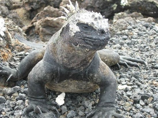 Galapagos Natural Life - Day Tours:                   Up close and personal with a marine iguana