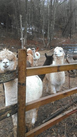Bella Alpacas:                   The Girls