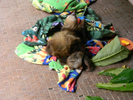 Foundation Jaguar Rescue Center:                                     Baby Sloths