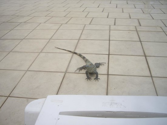 BEST WESTERN Jaco Beach All Inclusive Resort:                   Iguanas at the pool