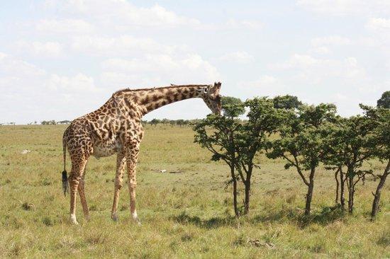 Royal Mara Safari Lodge: Giraffe