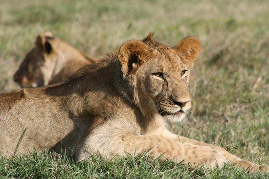 Royal Mara Safari Lodge: Lioness