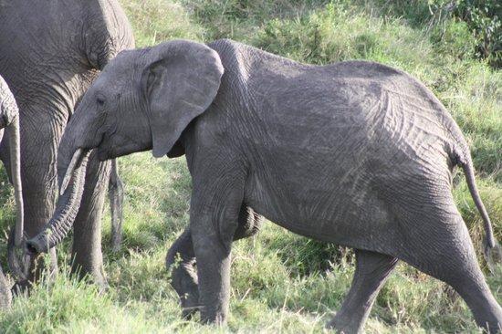 Royal Mara Safari Lodge: Baby elephant