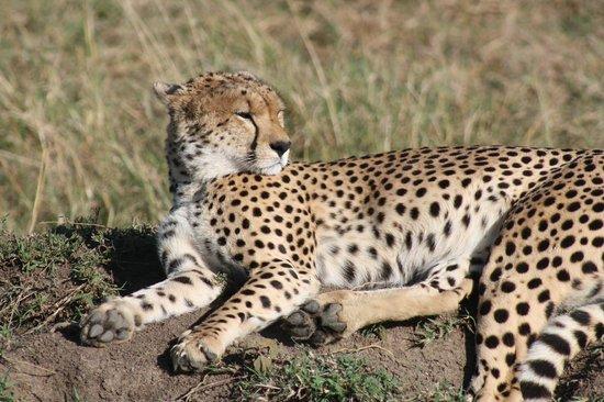 Royal Mara Safari Lodge: Beautiful animals