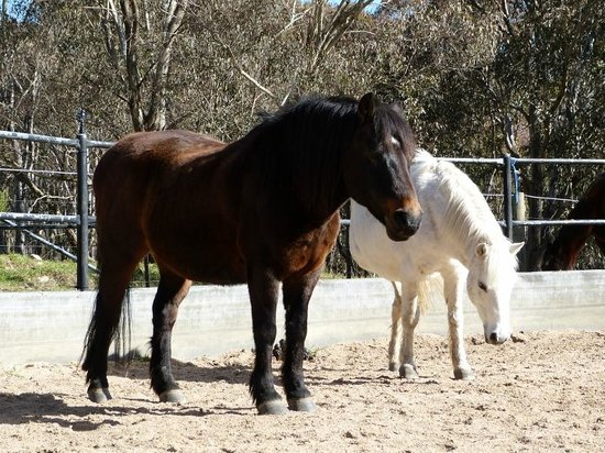 Yarrabin Holiday Ranch:                   2 ponies  in the round yard