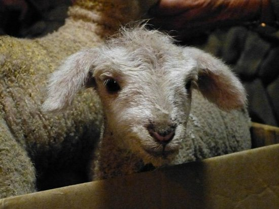 Yarrabin Holiday Ranch:                   an orphan lamb we fed