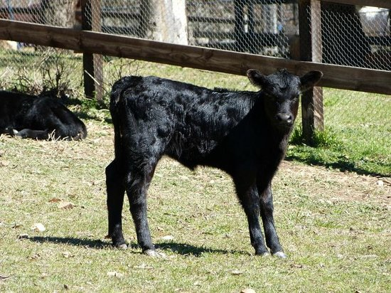 Yarrabin Holiday Ranch:                   a calf that guests can help feed from a bottle