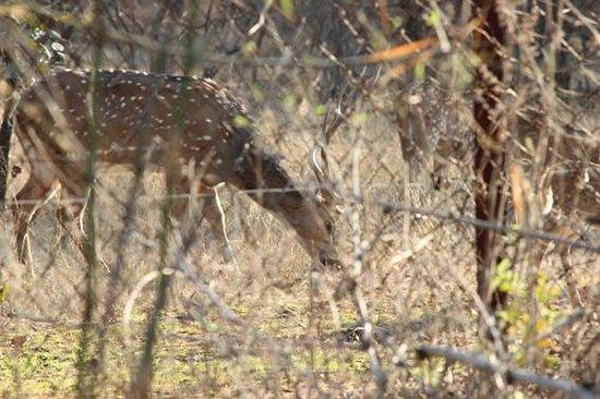 Infinity Resort Bandhavgarh:                   Cheetal deer seen from behind my room
