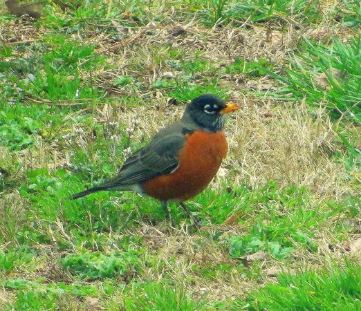 Red Clay State Historic Park: Robin