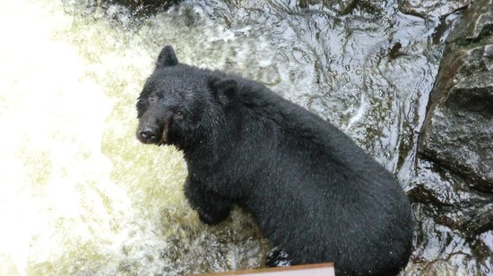 Anan Creek Bear Observatory:                   watchful bear