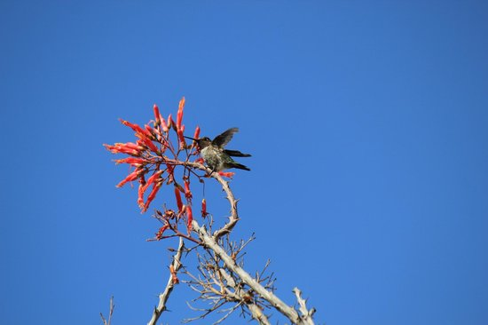 A beautiful elusive humming bird in Desert Garden.