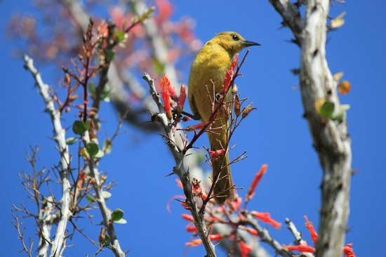 A pretty yellow bird in Desert Garden.