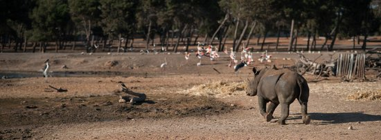 Safari Park :                   At the open Savanah - Rhino & Flamingo