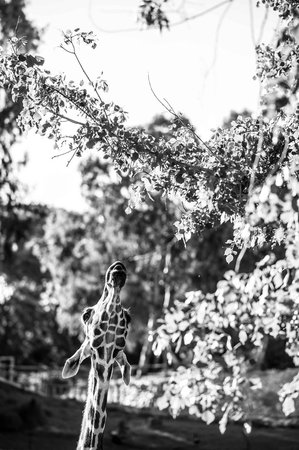 Safari Park :                   Giraffe eating