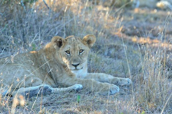 Shamwari Game Reserve Lodges: lion cub