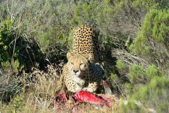 Shamwari Game Reserve Lodges: Cheetah on  a kill