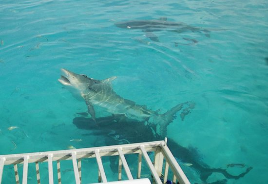 Bimini Big Game Club Resort & Marina: Diving with Bull Sharks right from the dock!