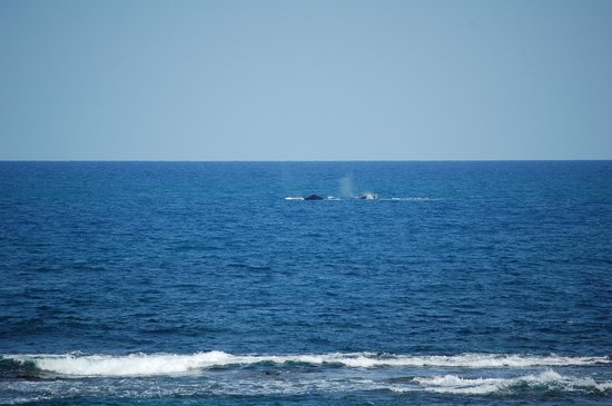 Villa Tropical Oceanfront Apartments on Shacks Beach: Whales-taken from our deck