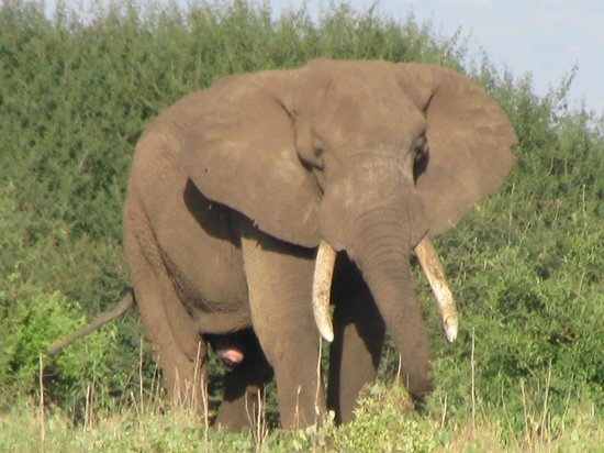 Manyara Ranch Conservancy:                   Plenty of elephants close by!
