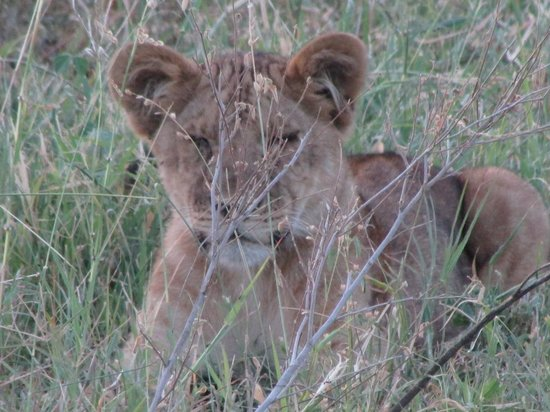 Manyara Ranch Conservancy:                   Not easy to find in them there bushes!
