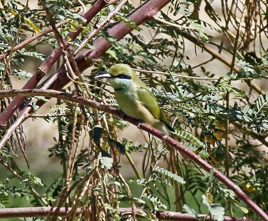 Jolie Ville Hotel & Spa - Kings Island, Luxor: Little green bee-eater