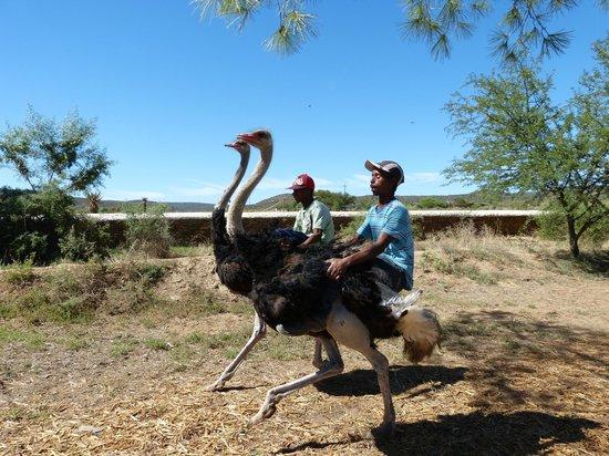 Chandelier Game Lodge & Ostrich Show Farm:                   Straußenrennen