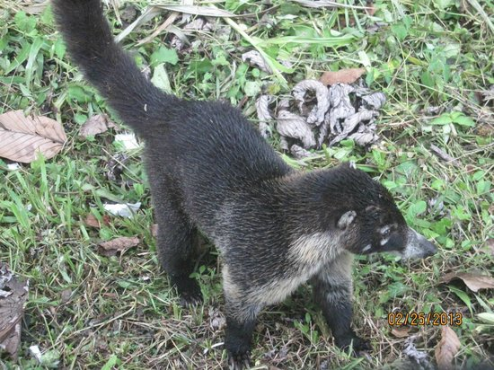 Lost Iguana Resort & Spa: Agouti