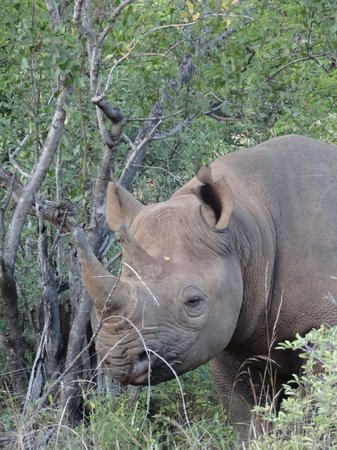 Naledi Bushcamp and Enkoveni Camp: Zulu the black rhino