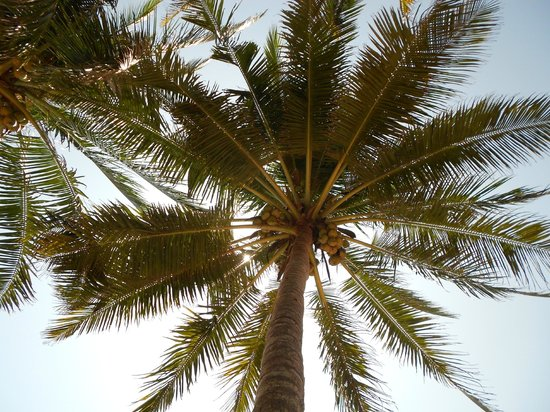 Samsara Harmony Beach Resort: Palm tree