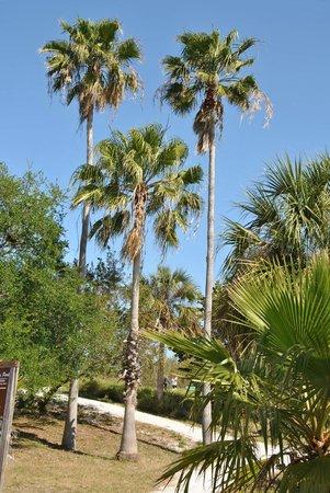 Clam Bayou Nature Park : Palmen