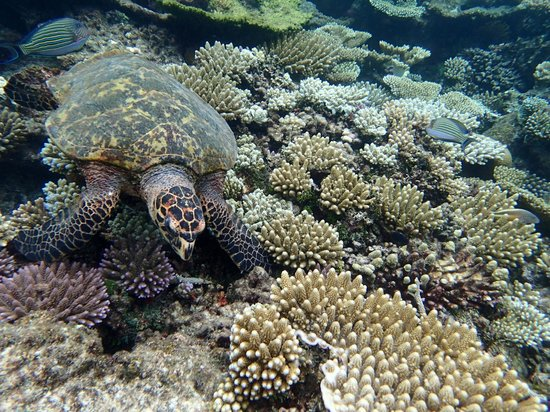 Robinson Club Maldives: Turtle