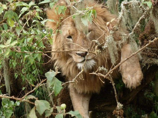 Ngorongoro Crater:                   lucky to see a lion in a tree