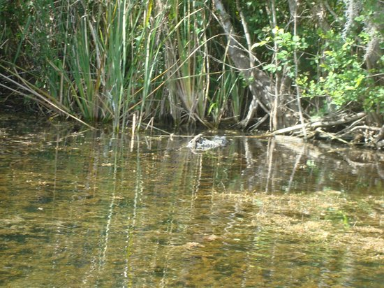 Everglades Area Tours: mama gator with baby
