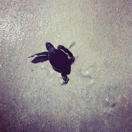 Four Seasons Resort Costa Rica at Peninsula Papagayo: Baby Sea Turtle!